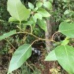 My Favourite Tree: Western Balsam Poplar (Populus trichocarpa)